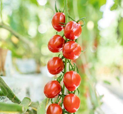 Cherry rajčina McDreamy
