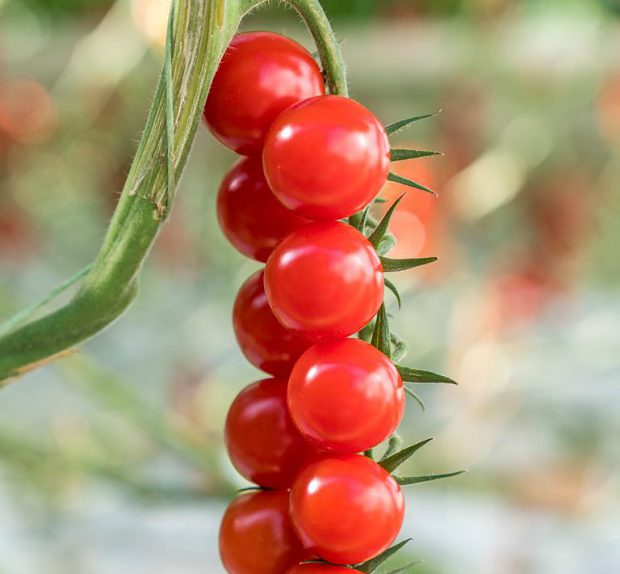Cherry rajčina Tramezzino