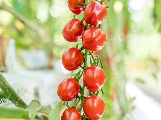 Cherry paradajky McDreamy