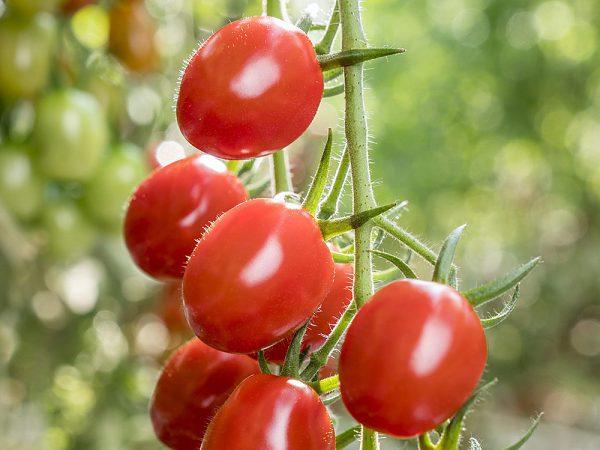 Cherry paradajky Storia