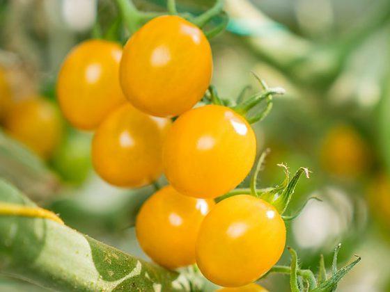 Cherry paradajky Maggino